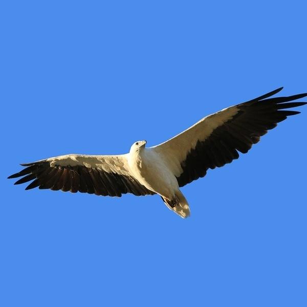 bigstock-White-Bellied-Sea-Eagle-bird-o-210719353-489768-edited.jpg